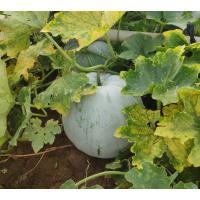 Ashguard/white pumpkin