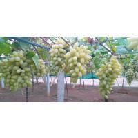 Farm Fresh Green Sweet Grapes