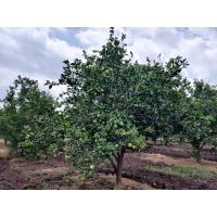 Organic Mausambi