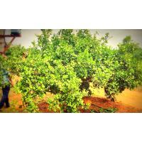 75 Ton Mausami with Rich C'vitamin