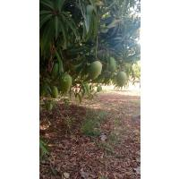 Organic Mango Badami from Telangana