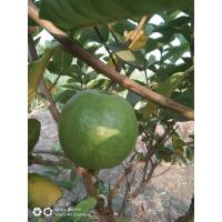 Farm Fresh Sweet Lucknow 49 Guava