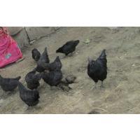 Kadaknath Birds