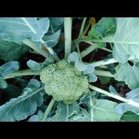 Tomorrow on words broccoli available