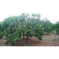 Mausami fruits