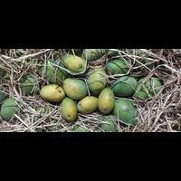 Organic Natural badami mangoes ??
