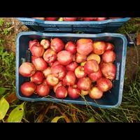 Fresh apples from shopian kashmir, if anyone needs plz call