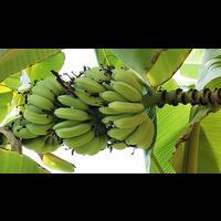 Karpuri Rajapuri (Javari) Banana